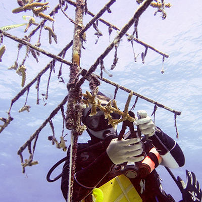 science diver pruning coral in a coral nursery