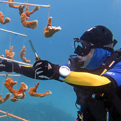 volunteer cleaning coral fragments