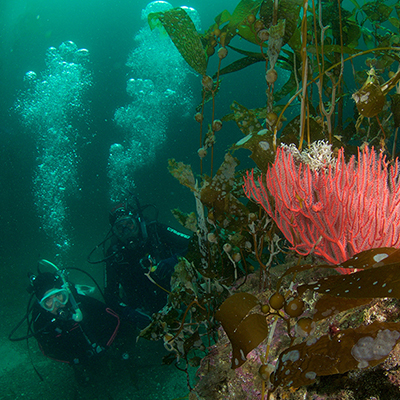 red gorgonian and divers in kelp forest