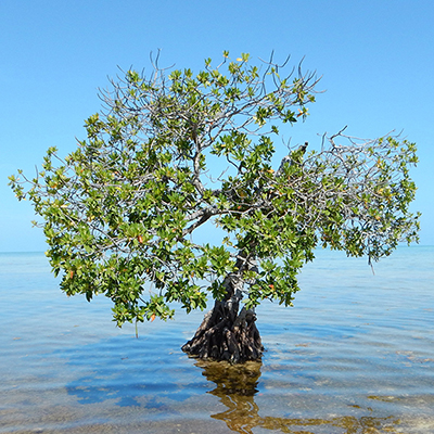 lone mangrove in shallow water