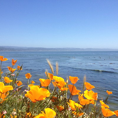 orange california poppies with the ocean and surfers in the background