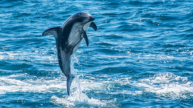 pacific white sided dolphin leaping out of the water