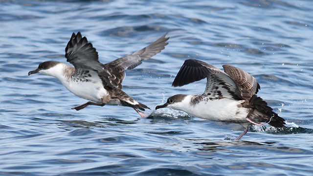 two great shearwaters flying above the water