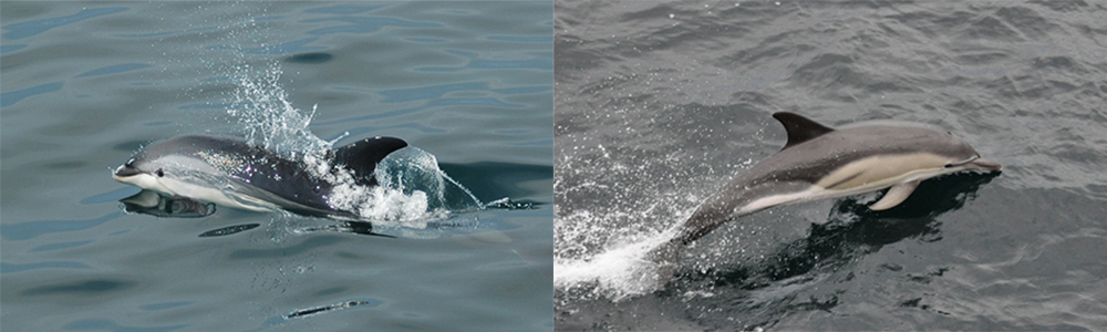 atlantic white-sided dolphin at left and common dolphin at right