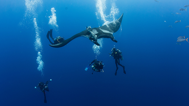 divers with a manta ray
