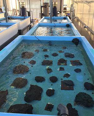 rescued corals in a tank