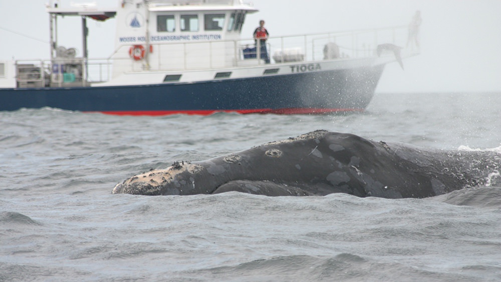 right whale surfacing in front of a research vessel