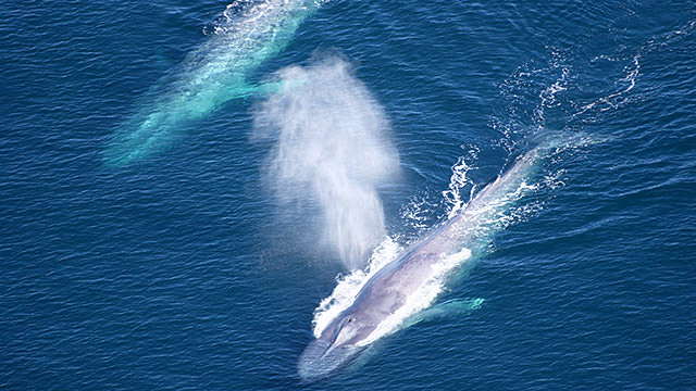 aerial photo of two blue whales swimming near the surface