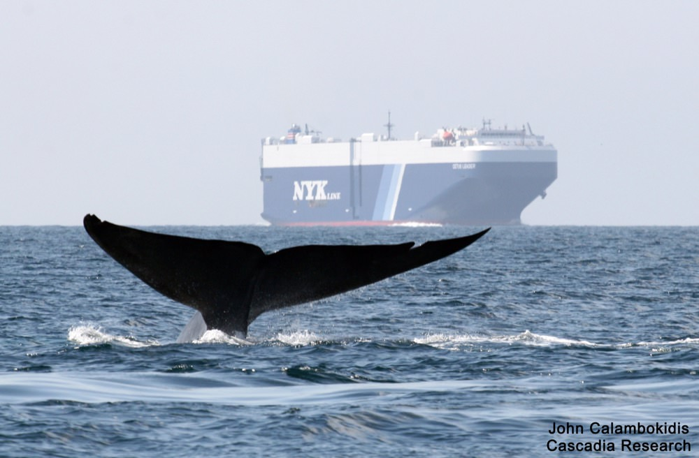 whale tail breaching with a cargo vessel in the background