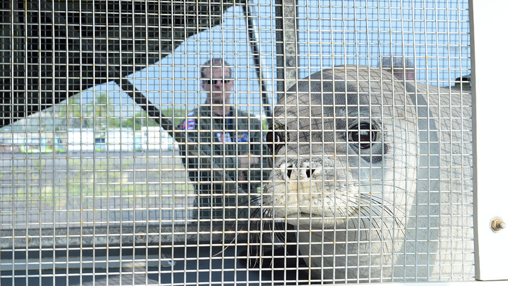 a hawaiian monk seal looks through a wire enclosure