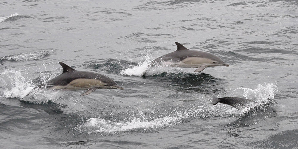 common dolphins swimming