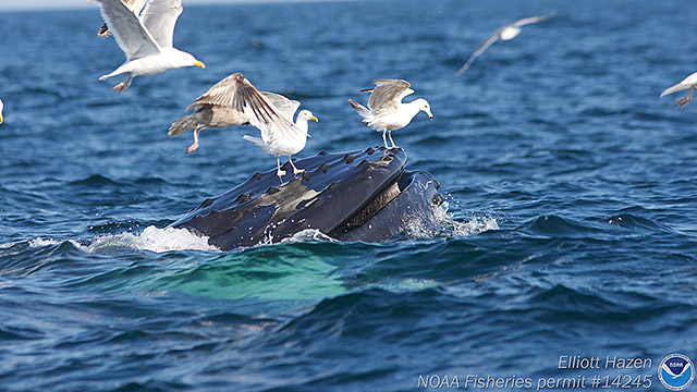 seagulls landing on humpback whale
