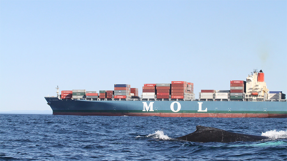 a whale surfaces with a cargo ship in the background