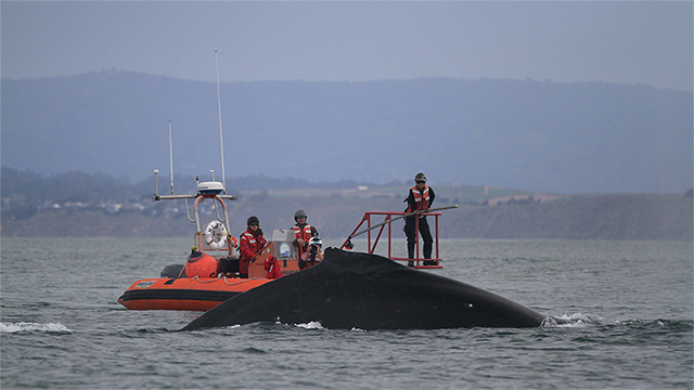 researchers in a small boat tag a whale