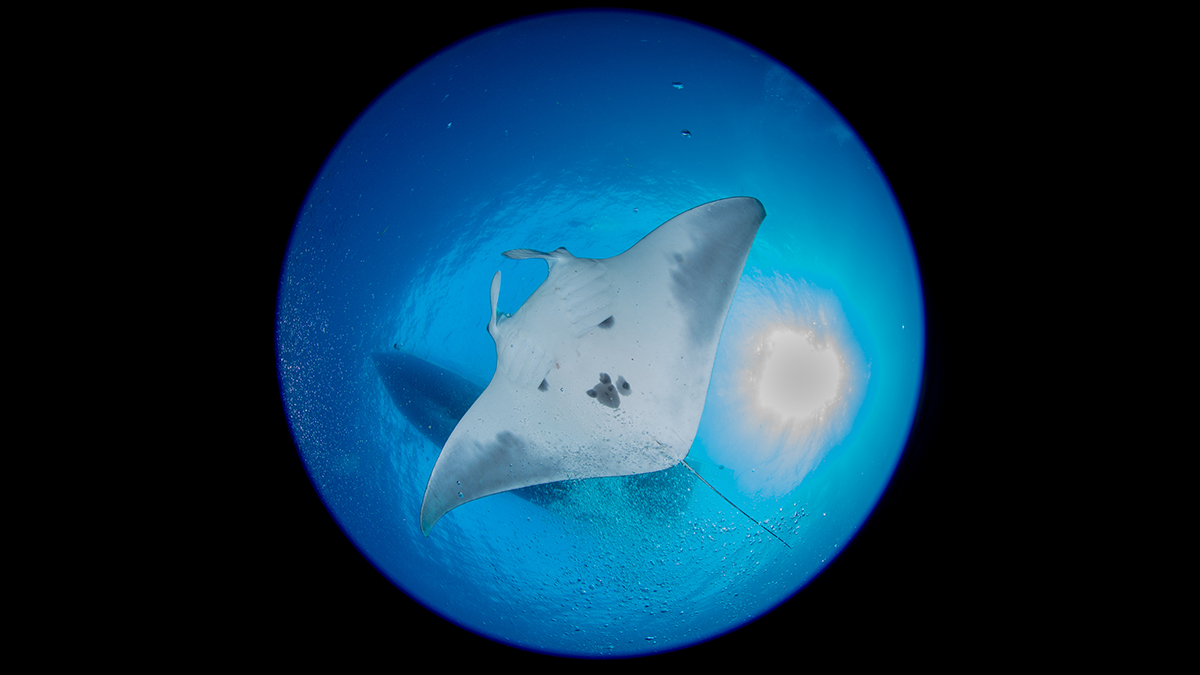 a manta ray photographed from below