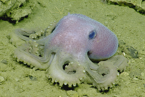 light purple octopus