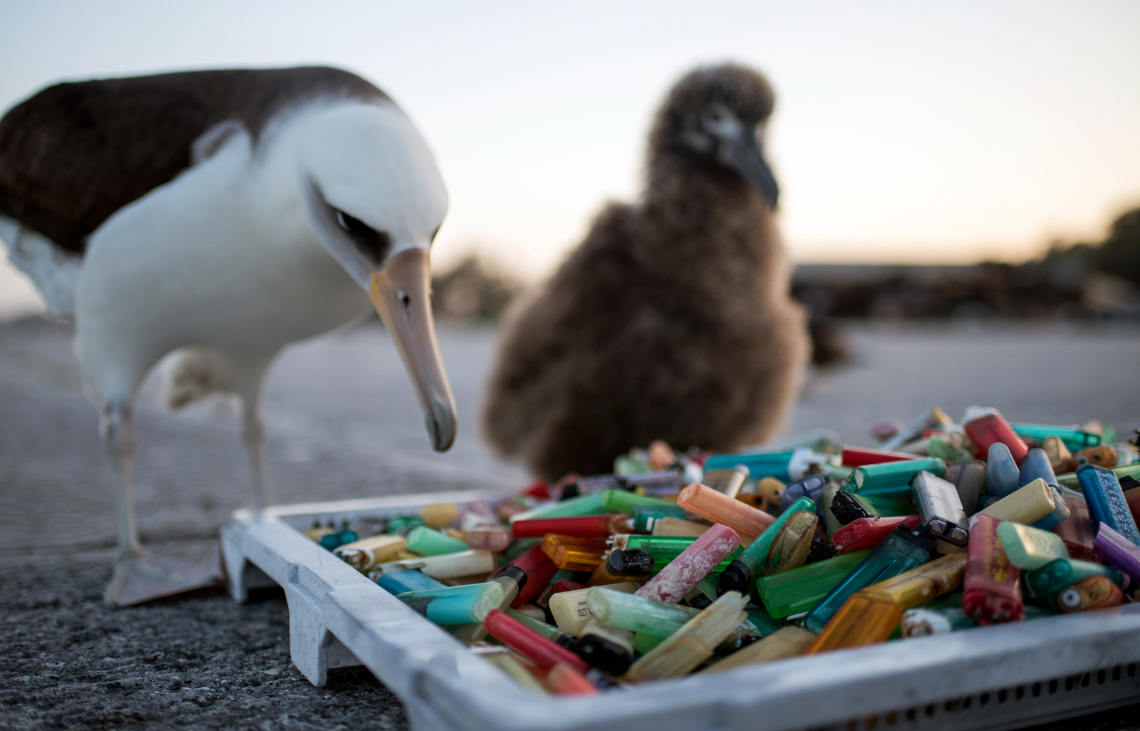 a laysan albatross contemplating a pan of plastic lighters
