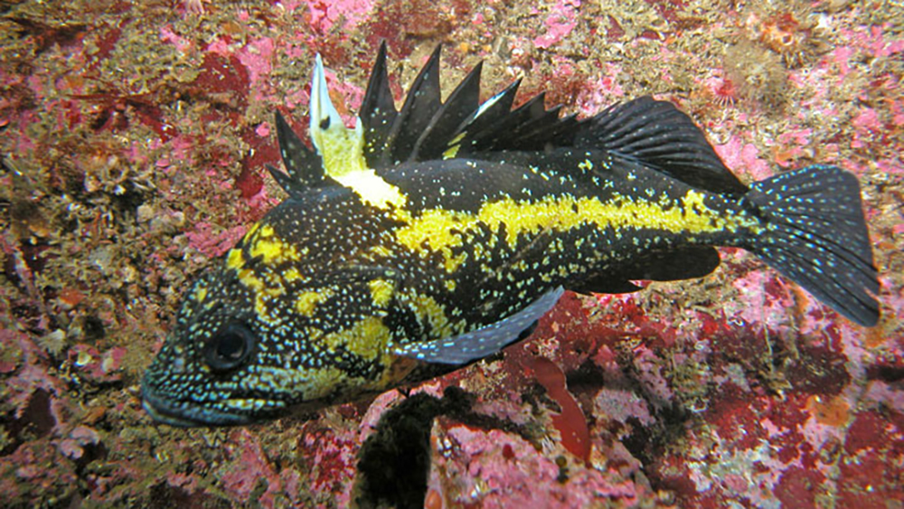 a yellow and black china rockfish