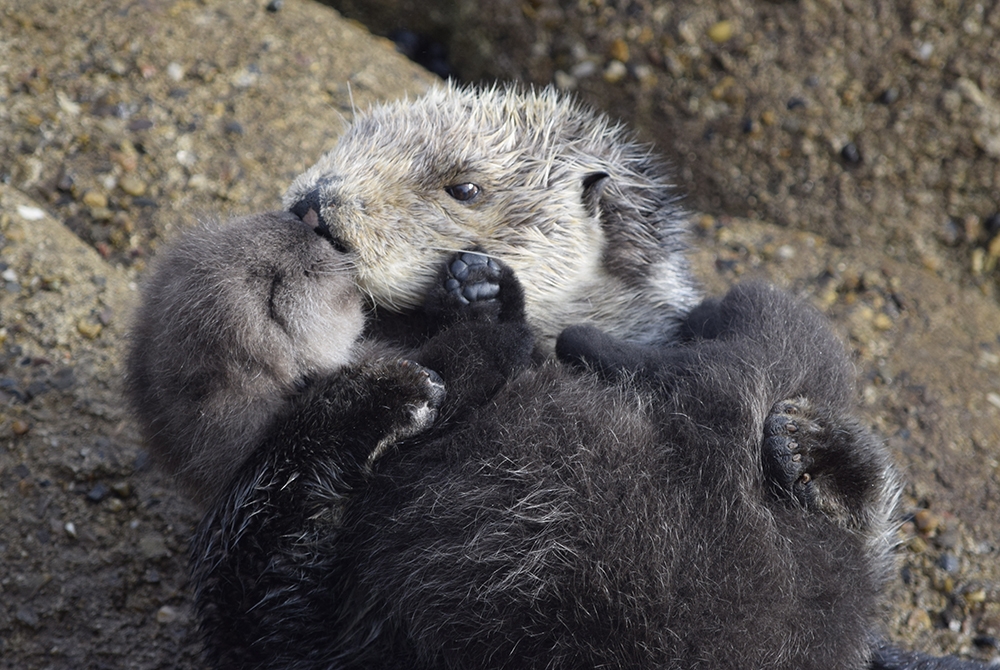 a sea otter mother cuddling her pup