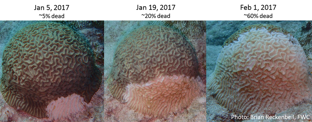 three images showing the progression of the disease in a coral colony