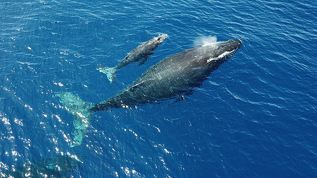 aerial photo of a humpback whale mother and calf pair at the ocean surface