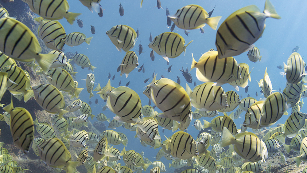 convict tangs swimming