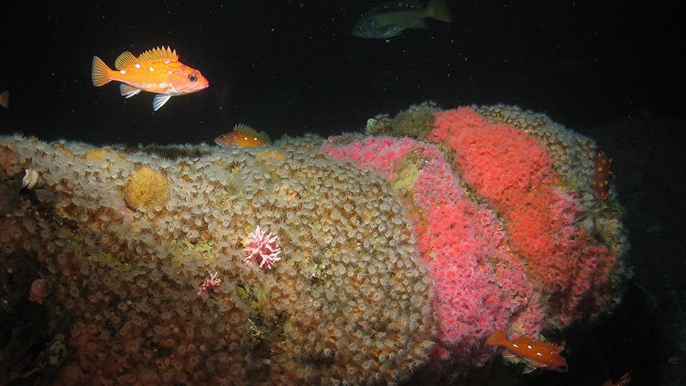 rosy rockfish swimming over anemones