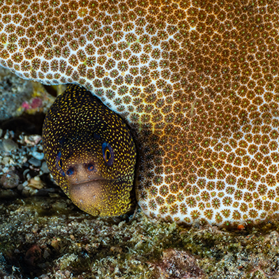 goldentail moray eel under coral