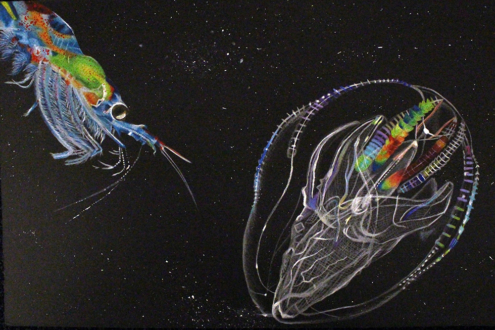 drawing of krill and comb jelly