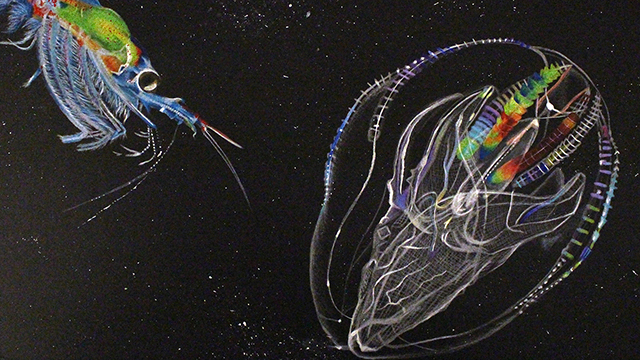 drawing of krill and a comb jelly