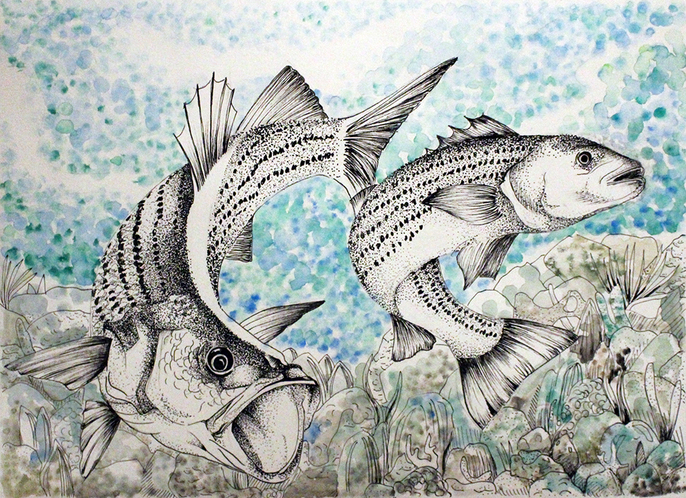 drawing of striped sea bass