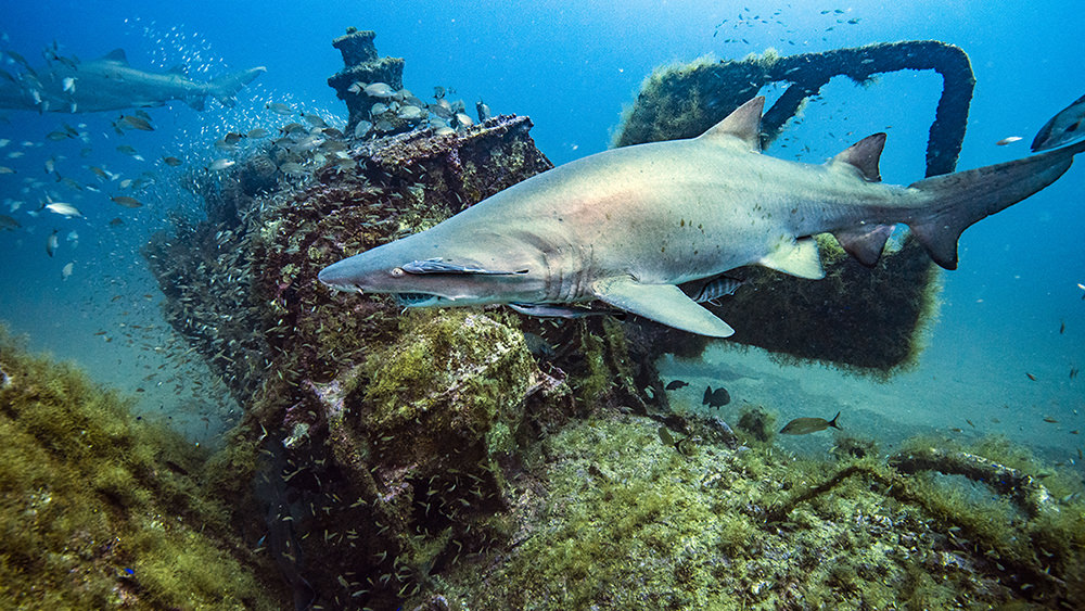 shark swimming past a shipwreck