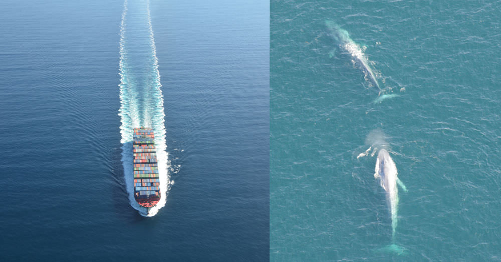 side by side images of a cargo ship and blue whales swimming