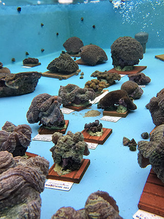 rescued corals in a pool