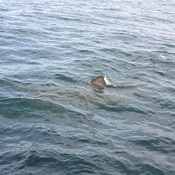 basking shark at the surface