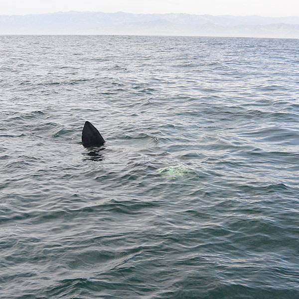 basking shark at the ocean surface