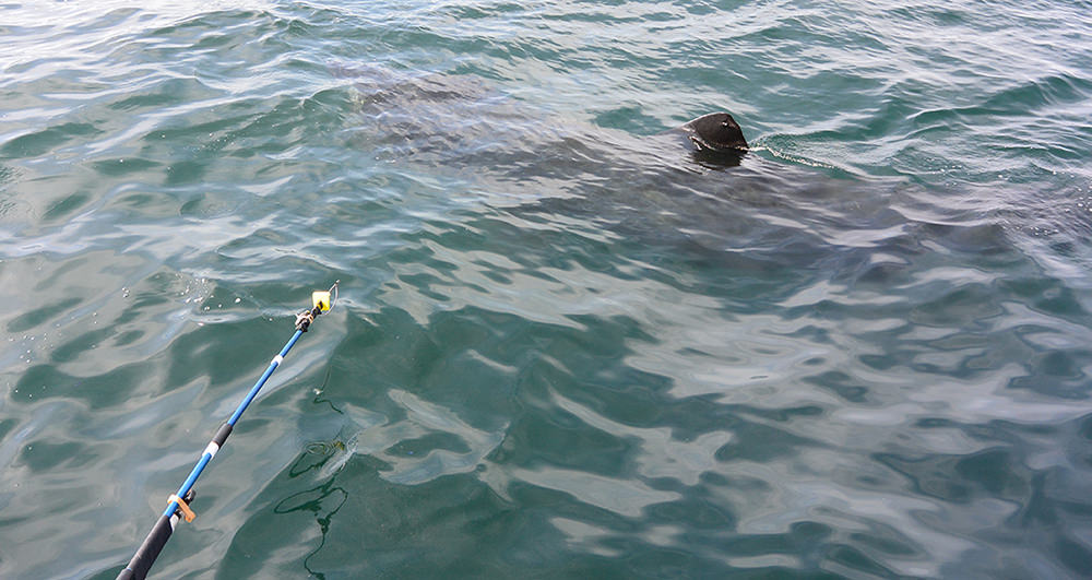 a pole reaching toward a basking shark