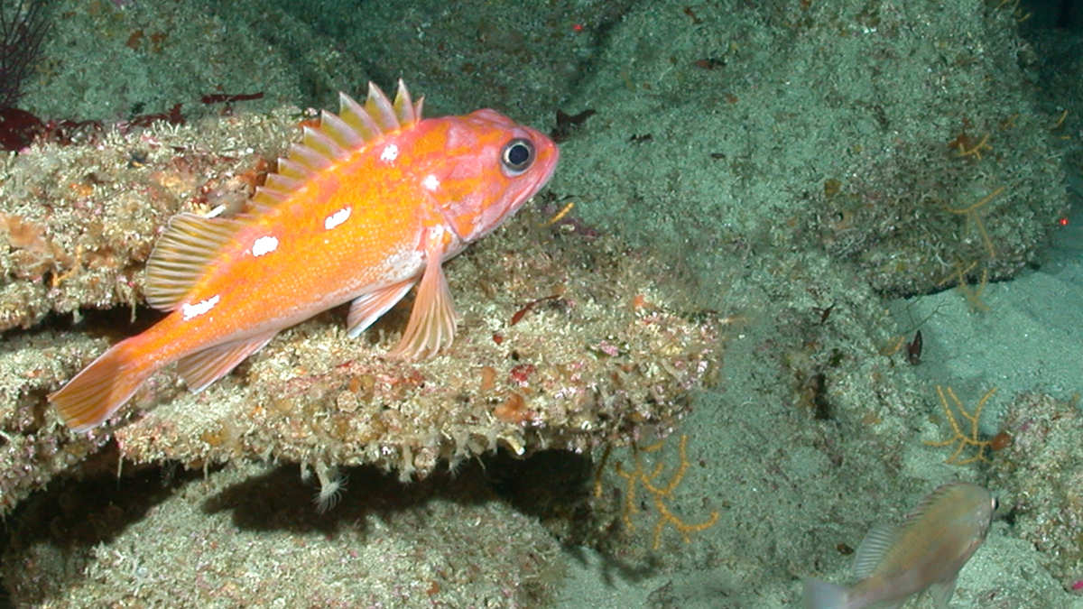 rockfish swimming near newly-discovered species of octocoral