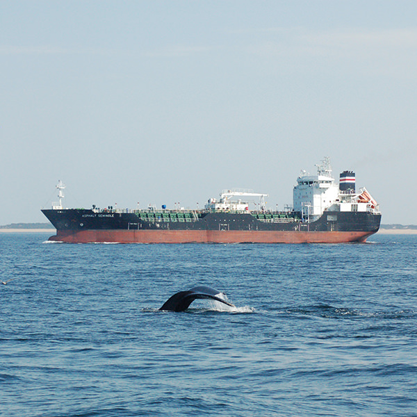 a humpback whale surfaces in front of a commercial vessel