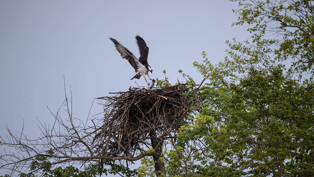 osprey landing in its nest