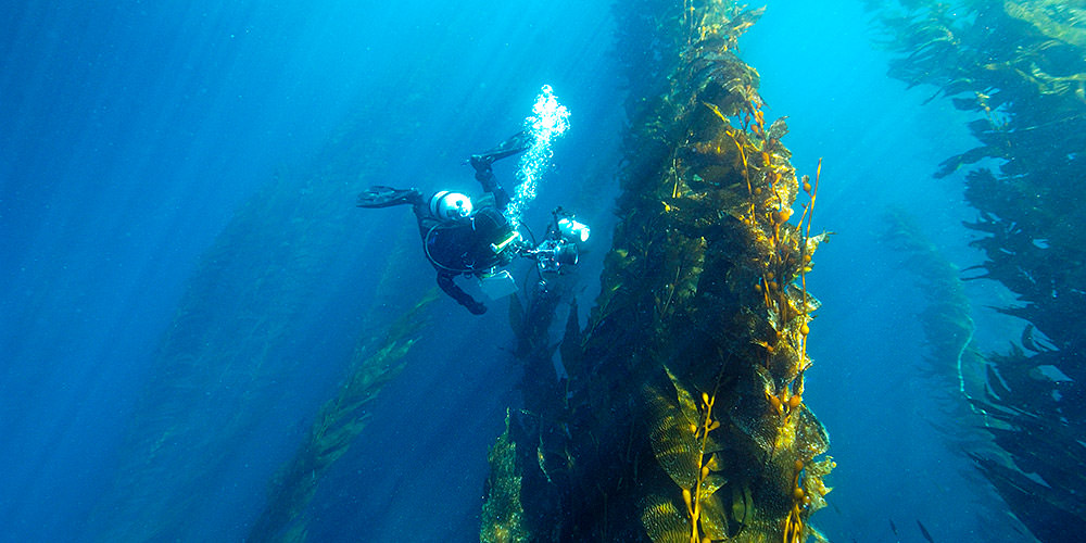diver photographing a kelp forest