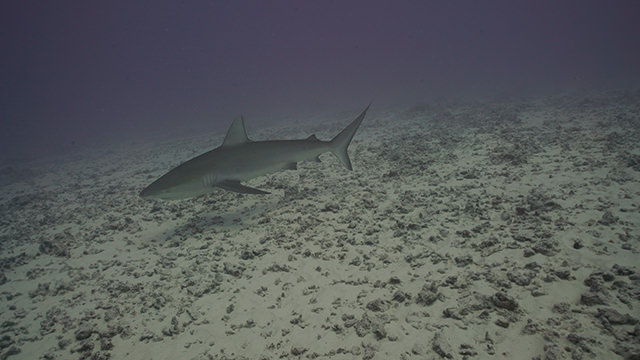 shark swimming over reef rubble