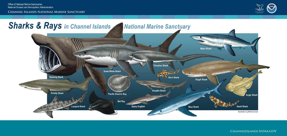 poster showing many sharks