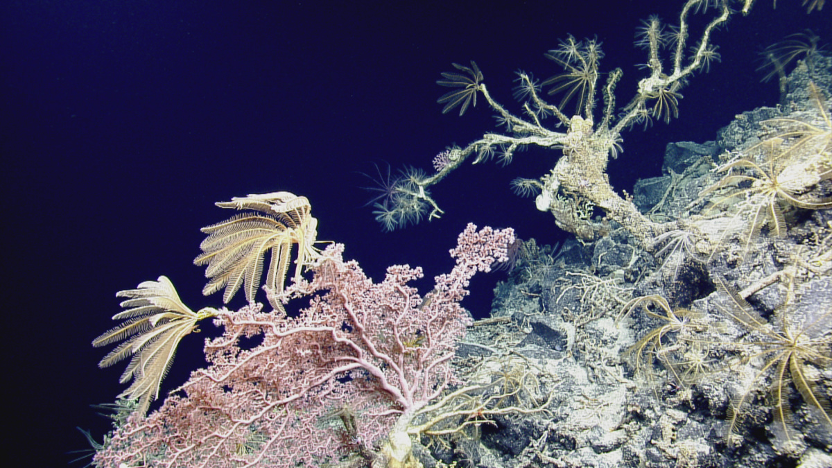 crinoids and deep-sea corals on the seafloor