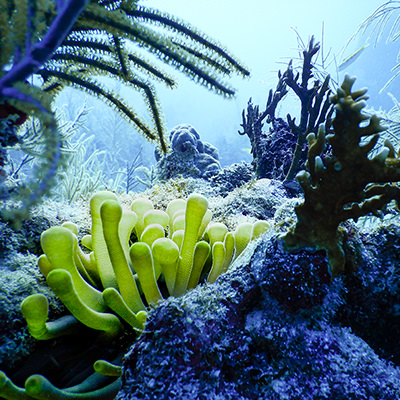 coral reef with sea anemone