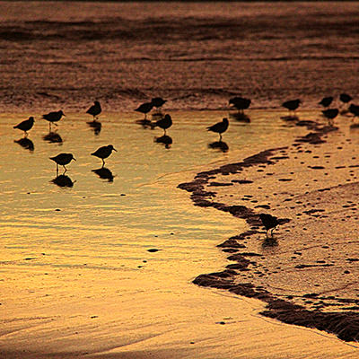 sandpipers at a beach