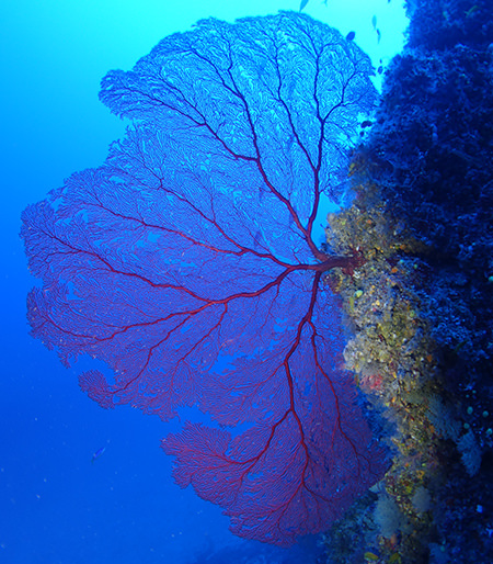gorgonian growing from a rock wall