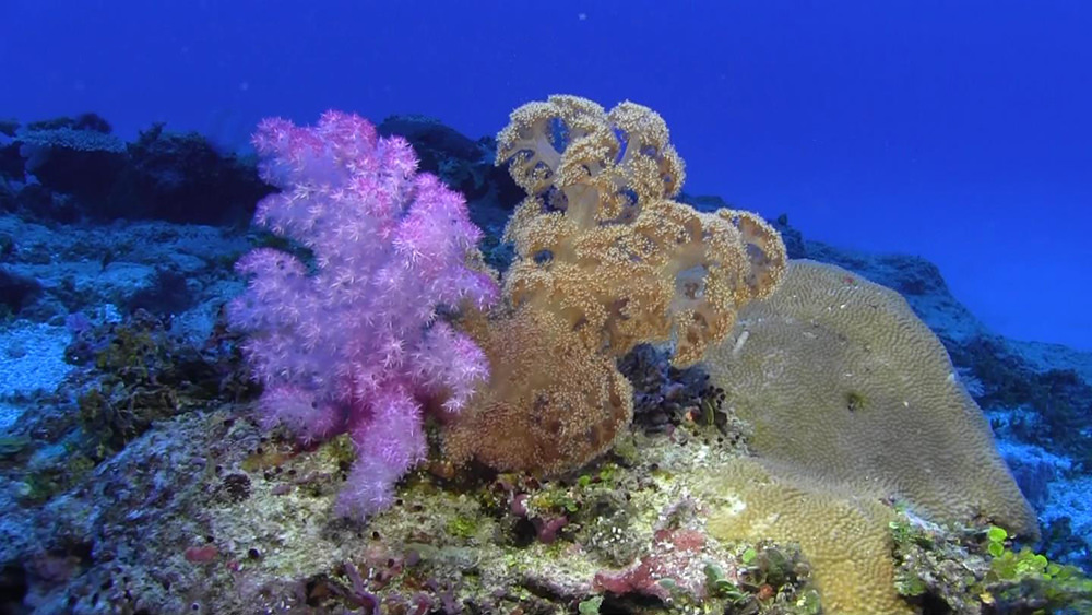 pink and brown soft corals