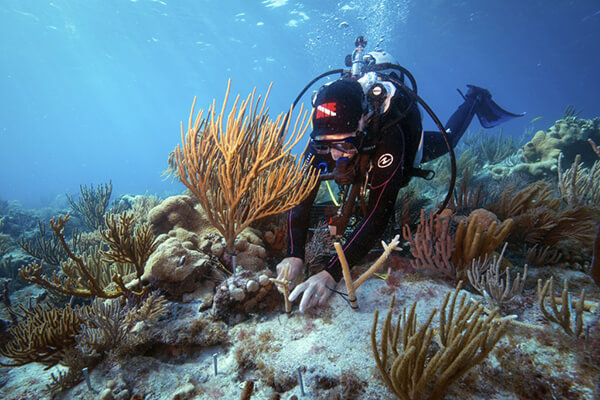 A diver outplants staghorn coral