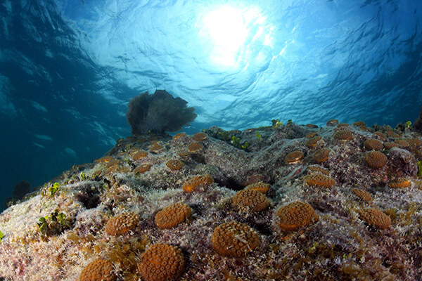 Outplantings of star coral grow at Looe Key Reef